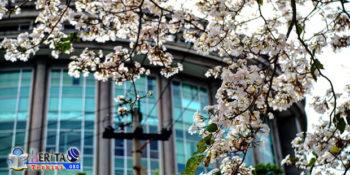Indahnya Bunga Tabebuya di Surabaya Mirip Pohon Sakura