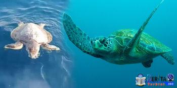 Mati Gara-Gara Sampah Plastik! 3 Ekor Penyu Ditemukan Mengambang di Perairan Pari