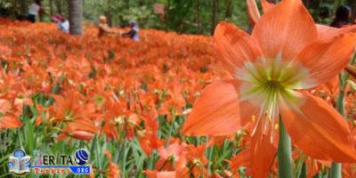 Sempat Viral di Tahun 2015, Bunga Amarilis Kembali Mekar, Yuk Mari Singgah