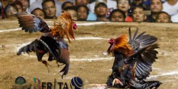 Polisi Meninggal Diserang Ayam Aduan yang Dipasangi Pisau Taji