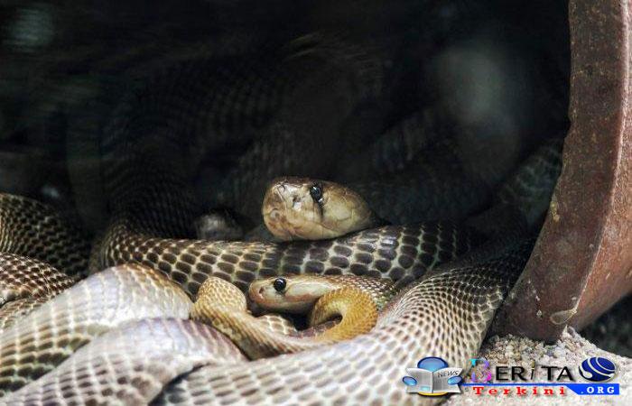 Sembuh dari Covid-19, DB, dan Malaria, Bapak Ini Juga Selamat dari Gigitan Kobra